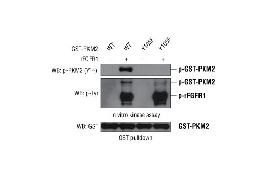GST-PKM2 wild-type or the Tyr105Phe mutant was incubated in an <i>in vitro</i> kinase assay in the presence or absence of active FGFR1. Western blot analysis was performed using Phospho-PKM2 (Tyr105) Antibody and a phospho-Tyr antibody. The data demonstrate the specificity of the Phospho-PKM2 (Tyr105) Antibody and that the Tyr105Phe mutation abolishes PKM2 phosphorylation at Tyr105 by FGFR1 <i>in vitro.</i> (Adapted from Hitosugi, T. et al., 2009).