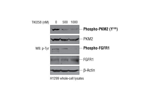 Western blot analysis of NCI-H1299 cells using Phospho-PKM2 (Tyr105) Antibody, total PKM2 Antibody #3198, total FGFR1 antibody, phospho-Tyr antibody, and β-actin antibody. The data demonstrate that inhibition of FGFR1 by TKI258 treatment in NCI-H1299 cells results in decreased Tyr105 phosphorylation of endogenous PKM2. (Adapted from Hitosugi, T. et al., 2009).