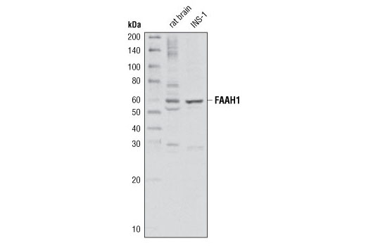 Western blot analysis of extracts from rat brain and INS-1 cells using FAAH1 (C84F1) Rabbit mAb.