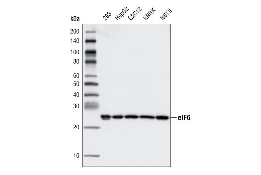 Monoclonal Antibody Western Blotting Ribosome Assembly - count 20