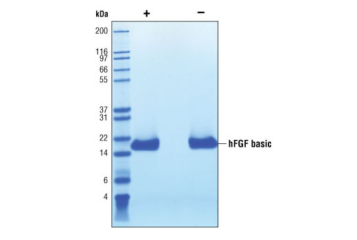 Image 2: Human Basic Fibroblast Growth Factor (hFGF basic/FGF2)