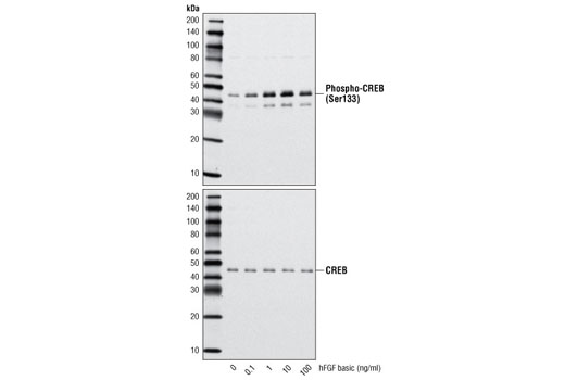 Image 3: Human Basic Fibroblast Growth Factor (hFGF basic/FGF2)