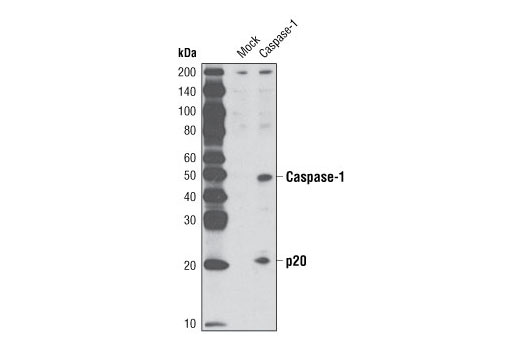 Western blot analysis of extracts from COS cells, untransfected or transfected with human caspase-1, using Caspase-1 (D7F10) Rabbit mAb.