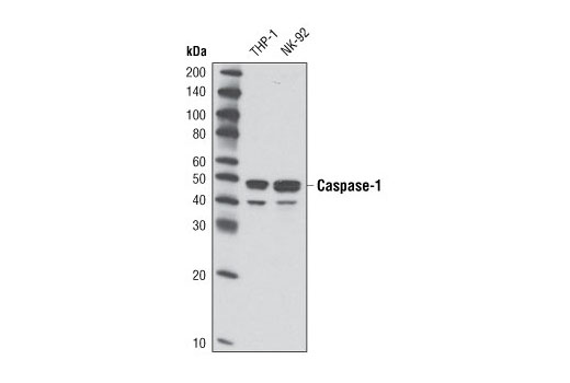 Western blot analysis of extracts from THP-1 and NK-92 cells using Caspase-1 (D7F10) Rabbit mAb.