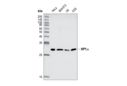 Western blot analysis of lysates from HeLa, NIH/3T3, C6 and COS cells, using HP1alpha antibody.