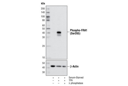 Polyclonal Antibody - Phospho-FRA1 (Ser265) Antibody - Immunoprecipitation, Western Blotting, UniProt ID P15407, Entrez ID 8061 #3880, Map Kinase Signaling