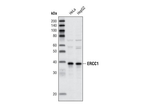 Western blot analysis of extracts from HeLa and HepG2 cells using ERCC1 Antibody.