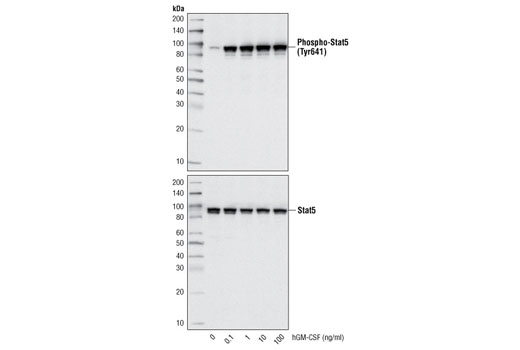 Growth Factors and Cytokines - Human Granulocyte Macrophage Colony Stimulating Factor (hGM-CSF), UniProt ID P04141, Entrez ID 1437 #8922, Growth Factors/Cytokines