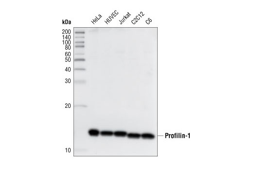 Western blot analysis of extracts from various cell lines, using Profilin-1 Antibody.