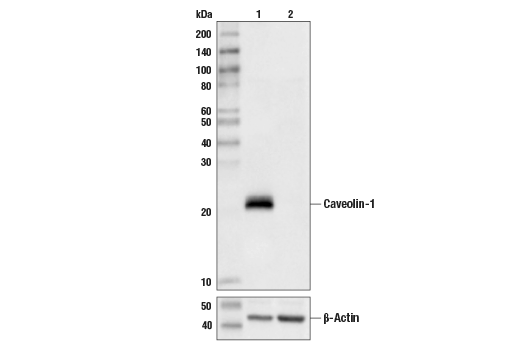 Western blot analysis of Hela Cell Extracts, untreated (-) or Caveolin-1 knock-out (+) using Caveolin-1 Antibody, #3238 (upper) or B-Actin (D6A8) Rabbit mAb #8457 (lower).