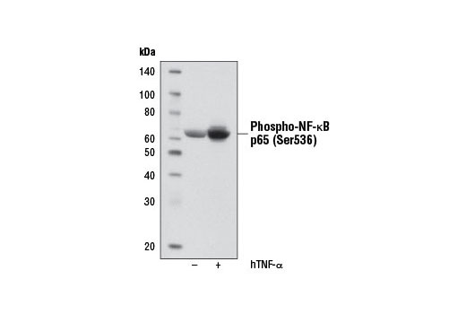Western blot analysis of NF-κB Control Cell Extracts #9243 (HeLa untreated or treated with hTNF-α #8902, 20 ng/ml, 5 min.), using Phospho-NF-κB p65 (Ser536) (93H1) Rabbit mAb (Biotinylated).