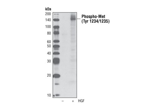 Monoclonal Antibody - Phospho-Met (Tyr1234/1235) (D26) XP® Rabbit mAb (Biotinylated), UniProt ID P08581, Entrez ID 4233 #4033, Antibodies to Kinases