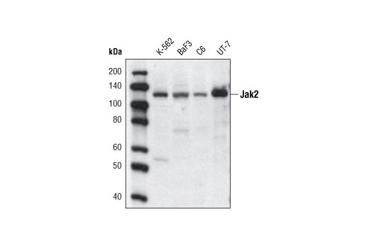 Western blot analysis of extracts from various cell lines using Jak2 (D2E12) XP<sup>®</sup> Rabbit mAb (Biotinylated) and detected with Streptavidin-HRP #3999.