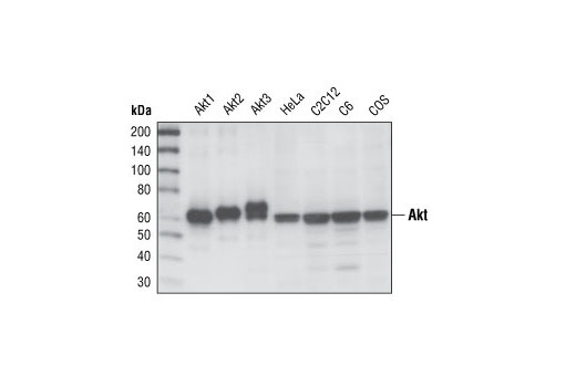 Western blot analysis of recombinant Akt1, Akt2 and Akt3 proteins, and extracts from HeLa, C2C12, C6 and COS cells, using Akt (pan) (11E7) Rabbit mAb.