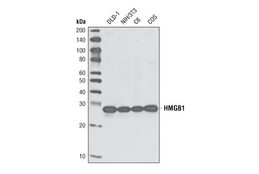 Western blot analysis of extracts from various cell lines using HMGB1 Antibody.