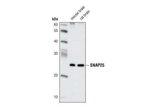 Polyclonal Antibody Snap Receptor Activity - count 6