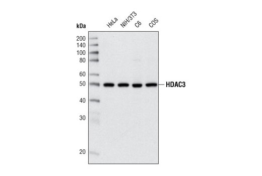Western blot analysis of extracts from various cell lines using HDAC3 (7G6C5) Mouse mAb.