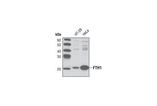 Polyclonal Antibody Western Blotting Iron Ion Homeostasis