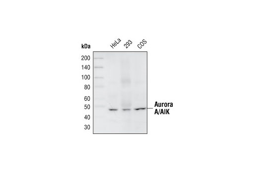 Western blot analysis of extracts from HeLa, 293 and COS cells, using Aurora A/AIK (1G4) Rabbit mAb.