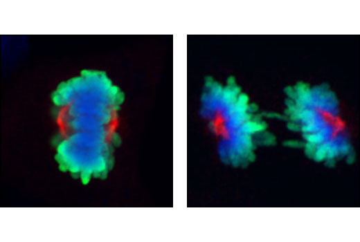 Confocal immunofluorescent images of mitotic COS cells during metaphase (left) or anaphase (right), labeled with Aurora A/AIK (1G4) Rabbit mAb (red) and Phospho-Histone H3 (Ser10) (6G3) Mouse mAb #9706 (green). Blue pseudocolor = DRAQ5<sup>®</sup> #4084 (fluorescent DNA dye).