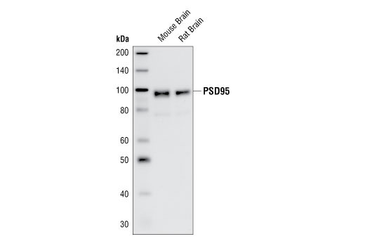 Western blot analysis of extracts from mouse and rat brain, using PSD95 Antibody.