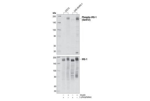 Monoclonal Antibody - Phospho-IRS-1 (Ser612) (L7B8) Mouse mAb, UniProt ID P35568, Entrez ID 3667 #3193 - Primary Antibodies