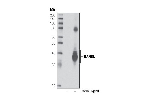 Western blot analysis of extracts from COS-7 cells, untransfected (-) or transfected (+) with a construct expressing human RANK Ligand, using RANK Ligand (R2) Antibody