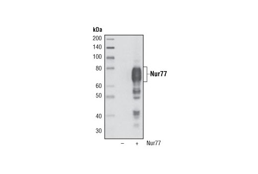 Western blot analysis of extracts from COS-7 cells, untransfected (-) or transfected (+) with a human Nur77 construct, using Nur77 (D63C5) XP<sup>®</sup> Rabbit mAb.
