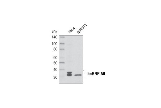 Western blot analysis of extracts from HeLa and NIH/3T3 cells using hnRNP A0 Antibody.