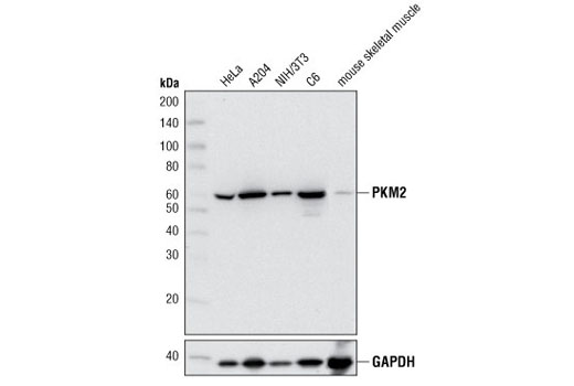 Western blot analysis of extracts from various cell lines and mouse skeletal muscle using PKM2 (D78A4) XP<sup>®</sup> Rabbit mAb (upper) or GAPDH (14C10) Rabbit mAb #2118.