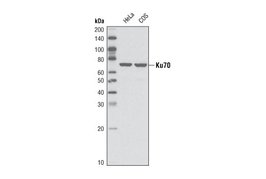 Western blot analysis of extracts from HeLa and COS cells using Ku70 (V540) Antibody.
