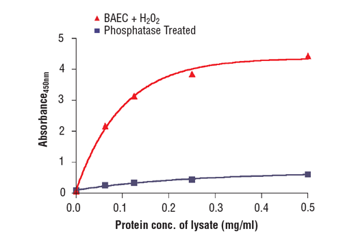 Figure 2. The relationship between the protein concentration of lysates from BAEC cells treated with H<sub>2</sub>O<sub>2</sub> or λ-phosphatase-treated lysate and the absorbance at 450 nm using PathScan<sup>®</sup> Phospho-eNOS (Ser1177) Sandwich ELISA Kit #7980 is shown.