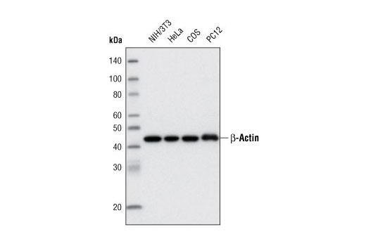 Western Blotting Image 1: β-Actin (13E5) Rabbit mAb (Biotinylated)