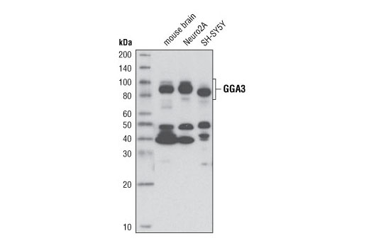 Polyclonal Antibody - GGA3 Antibody - Immunoprecipitation, Western Blotting, UniProt ID Q9NZ52, Entrez ID 23163 #4167, Neuroscience
