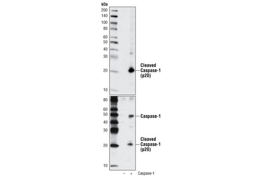 Western blot analysis of extracts from COS-7 cells, untransfected () or transfected with construct overexpressing human caspase-1 (+), using Cleaved Caspase-1 (Asp297) (D57A2) Rabbit mAb (upper) or Caspase-1 (D7F10) Rabbit mAb #3866 (lower).