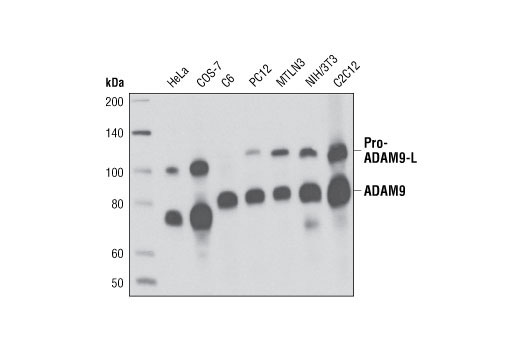Western blot analysis of extracts from various cell types using ADAM9 (D64B5) Rabbit mAb.