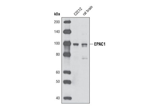 Western blot analysis of extracts from C2C12 cells and whole rat brain using Epac1 (5D3) Mouse mAb.