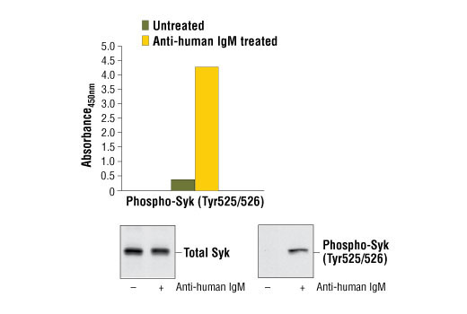 Figure 1. Treatment of Ramos cells with goat anti-human IgM stimulates tyrosine phosphorylation of Syk, detected by PathScan<sup>®</sup> Phospho-Syk (Tyr525/526) Sandwich ELISA Kit #7970, but does not affect the levels of total Syk protein detected by western blot analysis. The absorbance readings at 450 nm are shown in the top figure, while the corresponding western blots, using Syk Antibody #2712 (left panel), or Phospho-Syk (Tyr525/526) (C87C1) Rabbit mAb #2710 (right panel) are shown in the bottom figure.