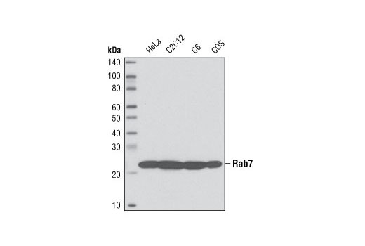 Western blot analysis of extracts from various cell lines using Rab7 (D95F2) XP<sup>®</sup> Rabbit mAb.