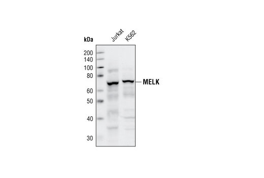 Western blot analysis of extracts of jurkat and K562 cells, using MELK Antibody.