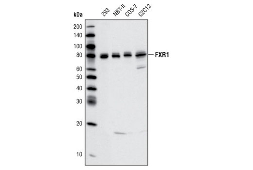 Western blot analysis of various cell lines using FXR1 Antibody.