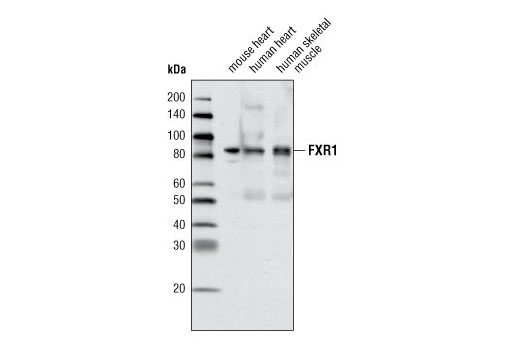 Western blot analysis of extracts from mouse heart, human heart and human skeletal muscle tissue using FXR1 Antibody.