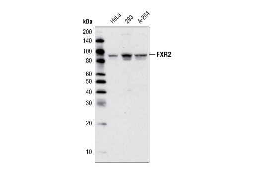 FXR2 Target