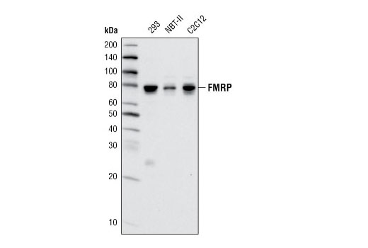 Western blot analysis of extracts from various cell lines using FMRP Antibody.