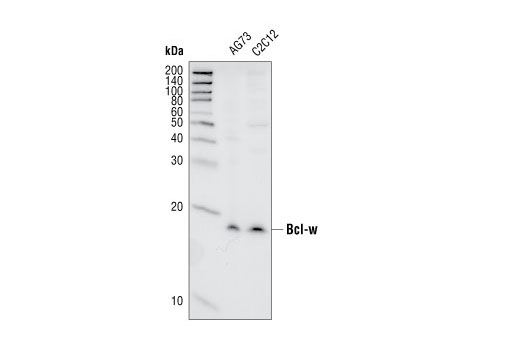 Western blot analysis of extracts from A673 and C2C12 cell lines, using Bcl-w (31H4) Rabbit mAb.