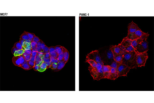 Immunofluorescence Image 1: CEA/CD66e (CB30) Mouse mAb