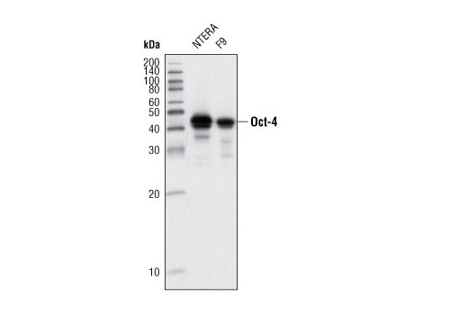 Western blot analysis of extracts from NTERA and F9 cell lines using Oct-4 (9B7) Mouse mAb.