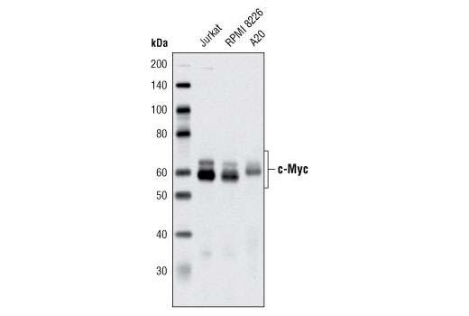 Western blot analysis of extracts from various cell lines using c-Myc (D84C12) Rabbit mAb.
