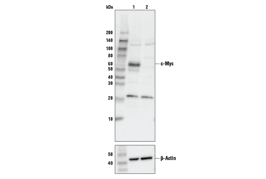 Western blot analysis of HEK293 cell extracts, untreated (-) or c-Myc knock-out (+), using c-Myc (D84C12) Rabbit mAb Antibody #5605 (upper) or β-actin (13E5) Rabbit mAb #4970 (lower).