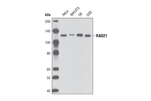 Western blot analysis of extracts from various cell lines using RAD21 (D213) Antibody.